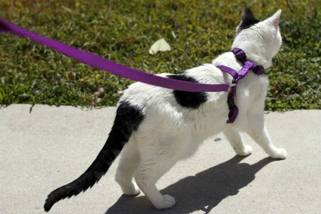 cat walk on leash