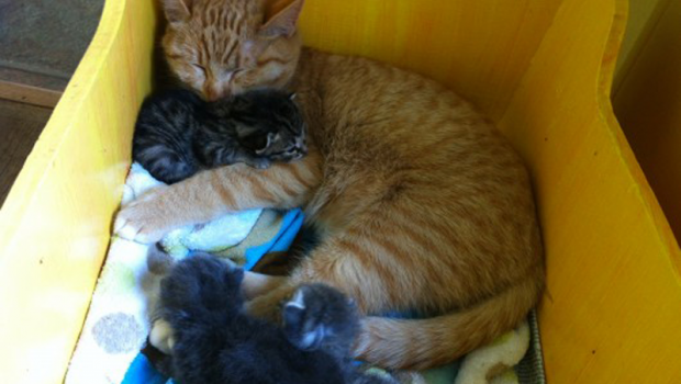Male Cat Takes on Role of Mother to Abandoned Kittens
